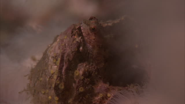 a sea creature climbs up the knobby coral on the pacific reef. - lizardfish stock videos & royalty-free footage