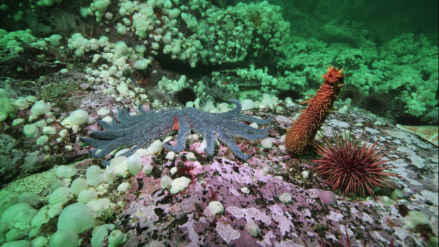 tl sea cucumber escapes sunflower sea star, canada - defending stock videos & royalty-free footage