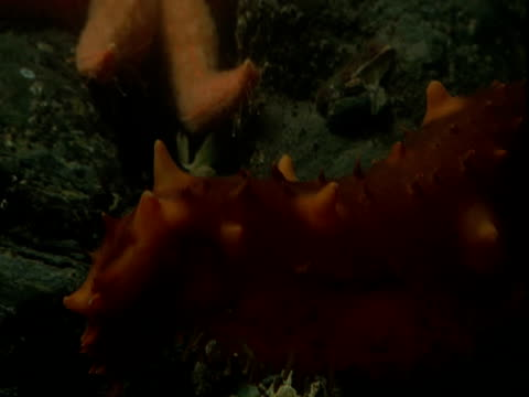 A sea cucumber moves near an orange sea star that inches over rocks on the ocean floor.