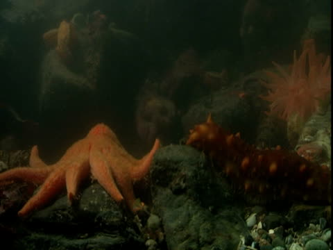 a sea cucumebr oozes toward a large orange sea star. - anacortes stock videos & royalty-free footage