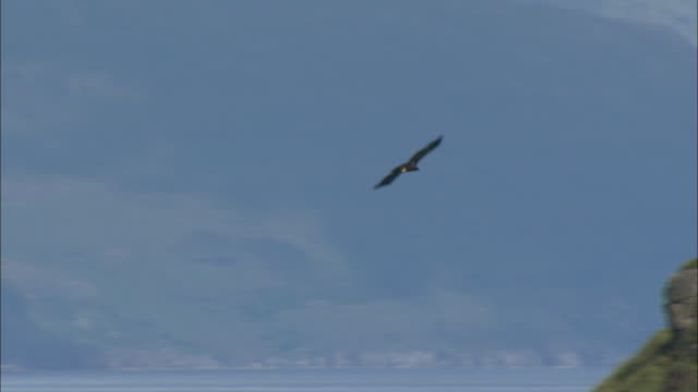 a sea eagle flies over the island of canna in the scottish inner hebrides.  - island stock videos & royalty-free footage