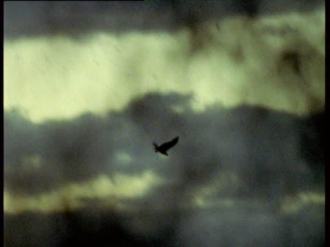 sea eagle snatches fruit bat straight out of morning sky, australia - 空気力学点の映像素材/bロール