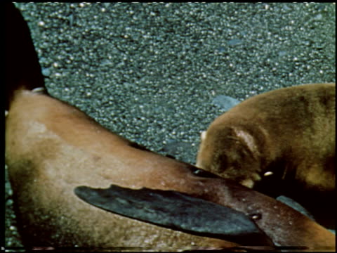 sea elephants and sea lions - 15 of 16 - sea elephants and sea lions film title stock videos & royalty-free footage