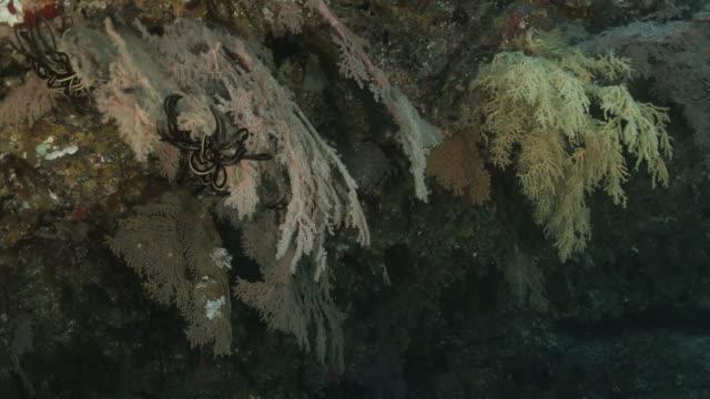 深海サンゴ礁の海ファンサンゴコロニー - ソフトコーラル点の映像素材/bロール