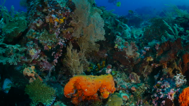 海ファン (ヤギ) の海底の頂点上のサンゴ - ゴーゴニアンコーラル点の映像素材/bロール