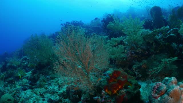 sea fan (gorgonian) coral, undersea reef - gorgonian coral stock videos & royalty-free footage