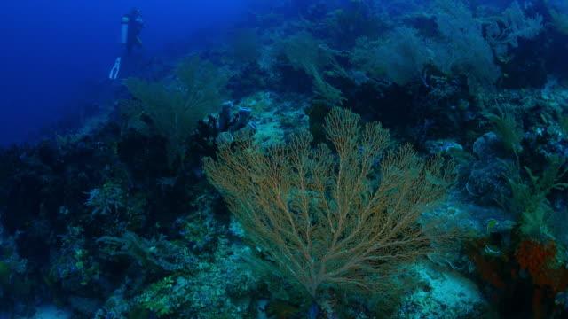 sea fan (gorgonian) coral, undersea - gorgonian coral stock videos & royalty-free footage