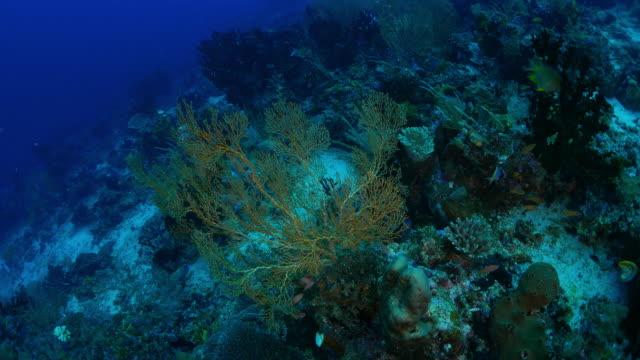 sea fan (gorgonian) coral - gorgonian coral stock videos & royalty-free footage