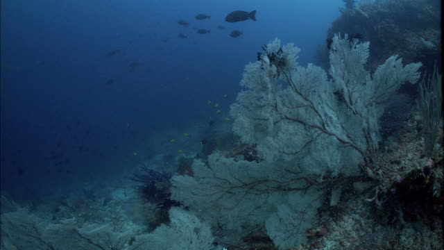 sea fan (gorgonian) on coral reef, west papua, indonesia - gorgonian coral stock videos & royalty-free footage