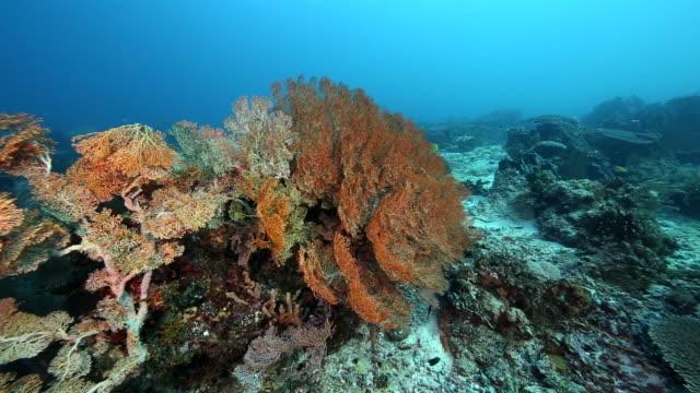 sea fans, alor indonesia - ソフトコーラル点の映像素材/bロール