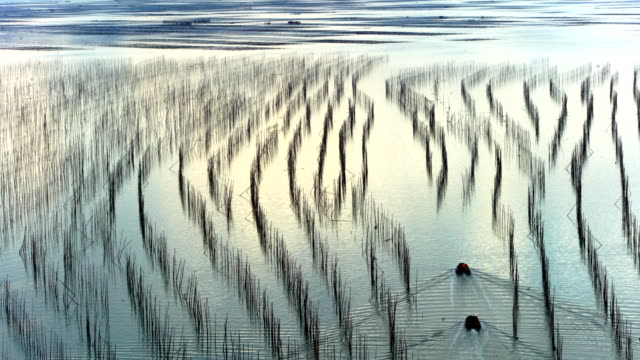 sea farm at sunset, xiapu, fujian, china - seaweed stock videos & royalty-free footage