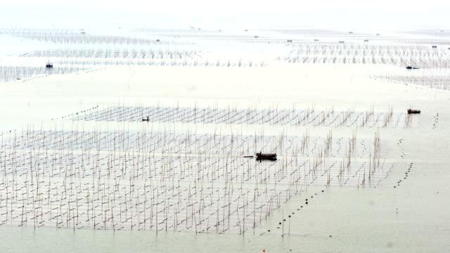 vidéos et rushes de ferme de mer au coucher du soleil, xiapu, fujian, chine - algue géante