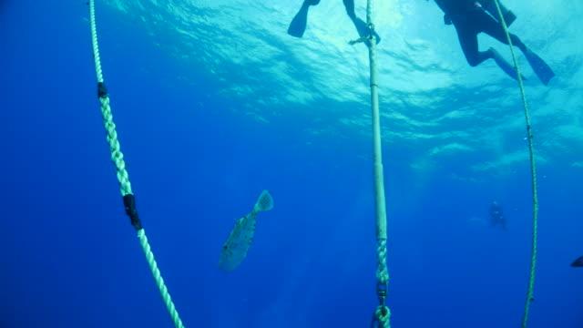 vídeos de stock e filmes b-roll de sea filefish hiding in anchor rope - ancora