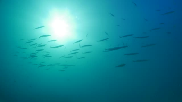 Meeresfische, die Schulbildung unter der Meeresoberfläche