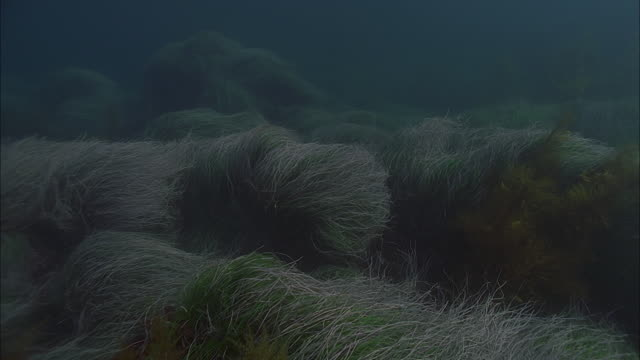slo mo ws sea floor with underwater plants / moorea, tahiti, french polynesia - sea grass plant stock videos & royalty-free footage