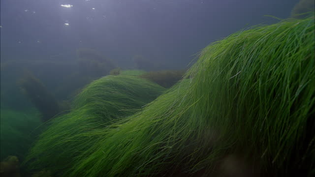 slo mo ws sea floor with underwater plants / moorea, tahiti, french polynesia - sea grass plant点の映像素材/bロール
