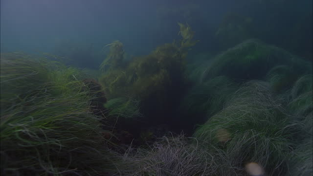 slo mo ws sea floor with variety of underwater plants / moorea, tahiti, french polynesia - sea grass plant点の映像素材/bロール