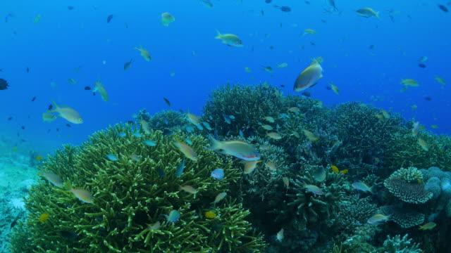 sea goldie (anthias fish) schooling in coral reef - anthias fish stock videos & royalty-free footage