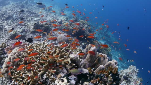 sea goldie (anthias fish) schooling in the coral (4k) - anthias fish stock videos & royalty-free footage