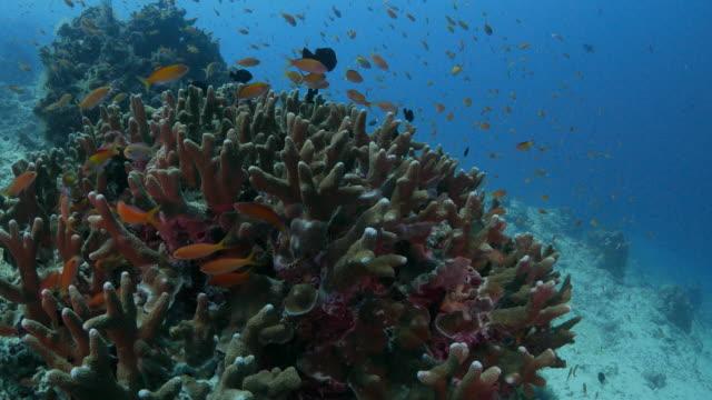 sea goldie undersea (4k->fhd) - goldie stock videos & royalty-free footage