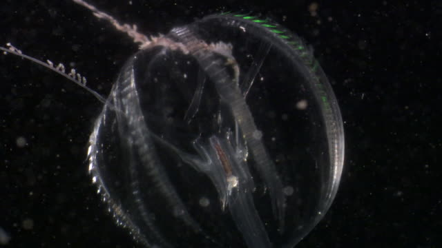 sea gooseberry comb jelly (ctenophora) in dark water, pacific ocean - pacific ocean stock videos & royalty-free footage