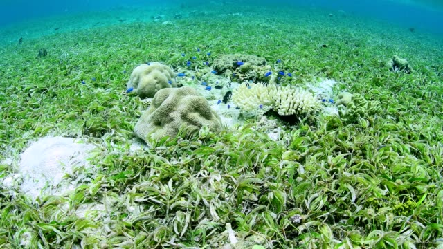 sea grass bed and marine life on healthy coral reef in wakatobi national park, indonesia. - sea grass plant点の映像素材/bロール
