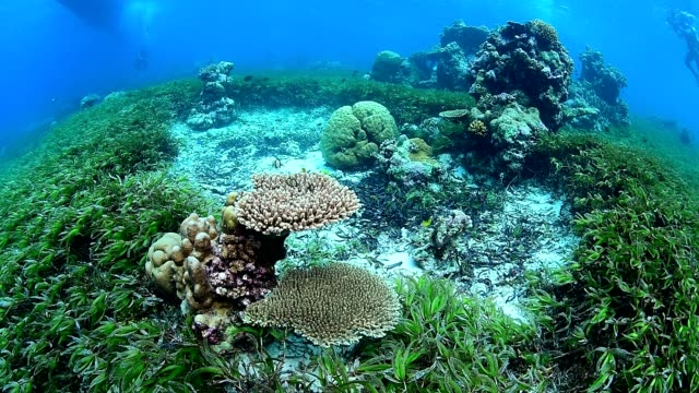 sea grass bed and marine life on healthy coral reef in wakatobi national park, indonesia. - sea grass plant stock videos & royalty-free footage