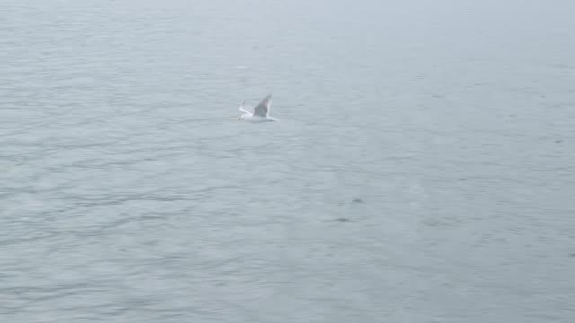 sea gull flying bosporus