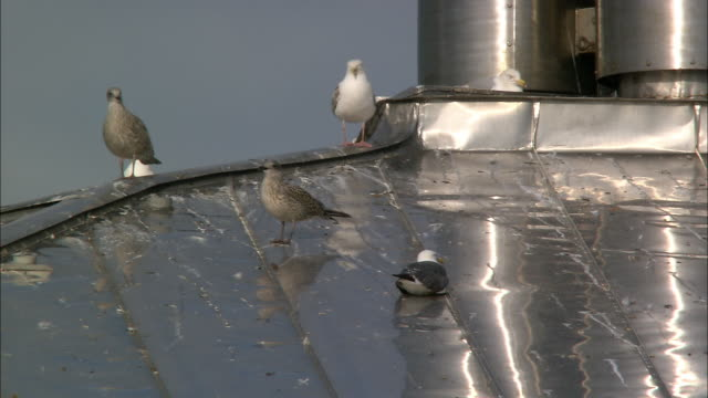 Sea gulls (Laridae) on reflective roof in heat haze, Bristol, UK