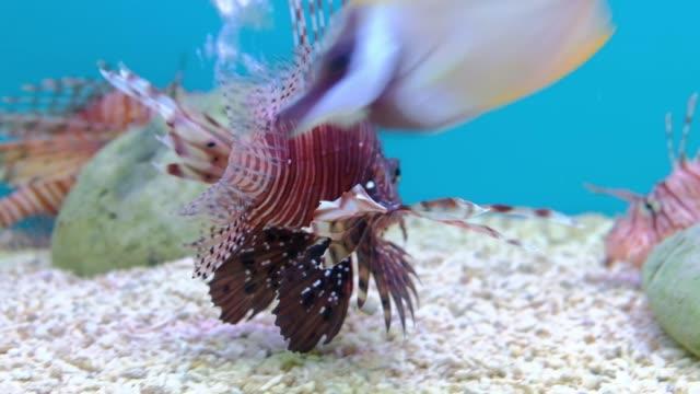 泳ぐ魚の水槽で海の生活 - エンゼルフィッシュ点の映像素材/bロール