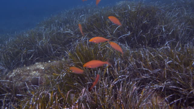 sea life of mediterranean sea - sea grass plant点の映像素材/bロール