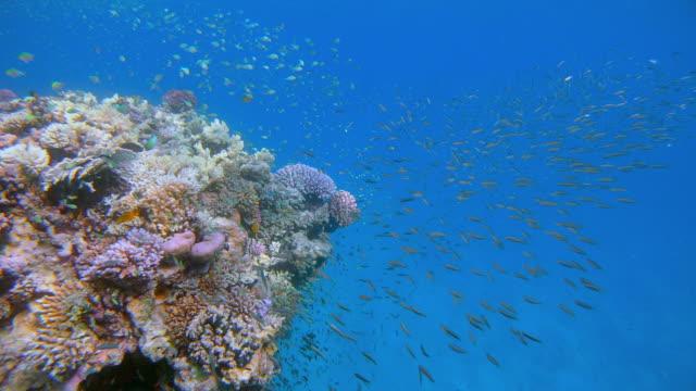 vídeos de stock, filmes e b-roll de vida marinha em belo recife de corais com jack fish caça pequenos peixes tropicais no mar vermelho - baía de lahami - marsa alam - egito - fundo do mar