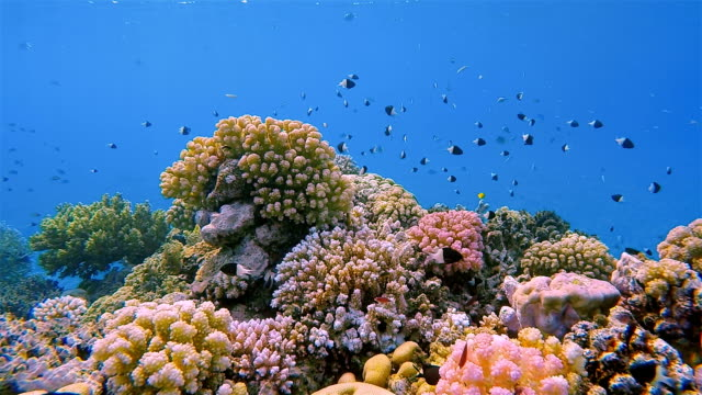 Sea life on beautiful coral reef with lot of Chromis dimidata on Red Sea nearby Marsa Alam
