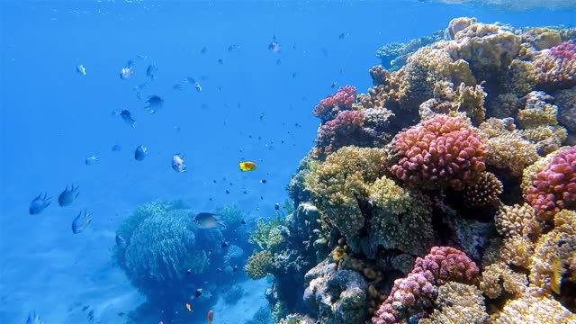 Sea life on beautiful coral reef with lot of damselfish in Red Sea near by Marsa Alam - Egypt