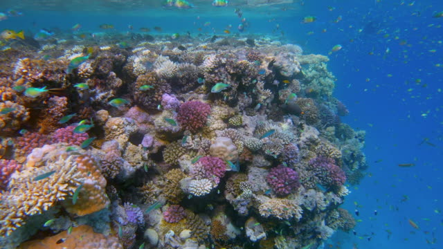 sea life on beautiful coral reef with lot of small tropical fish chromis viridis ( green chromis ) on red sea - lahami bay - marsa alam - egypt - reef stock videos & royalty-free footage