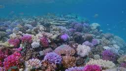 Sea life on beautiful coral reef with lot of small tropical Fish Chromis viridis ( green chromis ) on Red Sea - Lahami Bay - Marsa Alam - Egypt