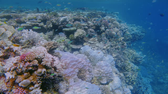 sea life on beautiful coral reef with lot of small tropical fish , chromis viridis ( green chromis ) on red sea - marsa alam - egypt - red sea stock videos & royalty-free footage