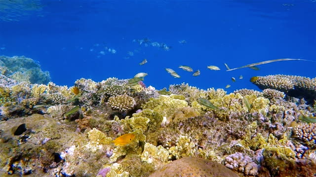 Sea life on beautiful coral reef with lot of tropical Fish and Cornetfish on Red Sea nearby Marsa Alam