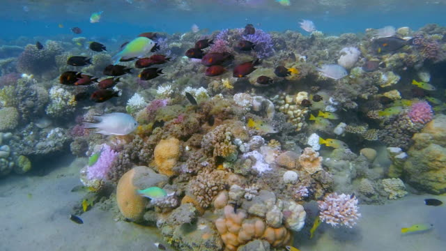 sea life on beautiful coral reef with lot of tropical fish / baby reef on red sea - lahami bay - marsa alam - egypt - fondale marino video stock e b–roll