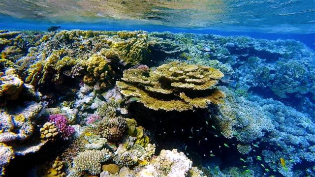 vidéos et rushes de vie marine sur beau récif de corail avec beaucoup de poissons tropicaux dans la mer rouge à proximité de marsa alam - organisme aquatique