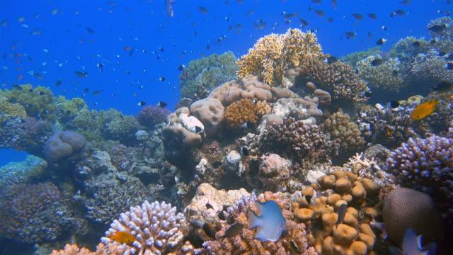meeresleben auf schönem korallenriff mit vielen tropischen fischen am roten meer - marsa alam - große tiergruppe stock-videos und b-roll-filmmaterial