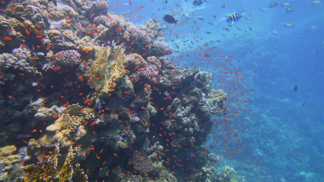 sea life on beautiful coral reef with lot of tropical fish ( sea goldie - pseudanthias squamipinnis ) on red sea nearby marsa alam - large group of animals stock videos & royalty-free footage