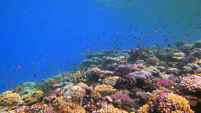 sea life on beautiful coral reef with lot of tropical fish ( sea goldie - pseudanthias squamipinnis ) on red sea nearby marsa alam - red sea stock videos & royalty-free footage