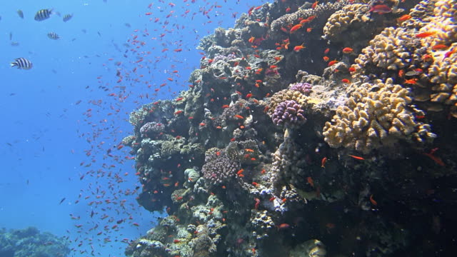 sea life on beautiful coral reef with lot of tropical fish ( sea goldie - pseudanthias squamipinnis ) on red sea nearby marsa alam - goldie stock videos & royalty-free footage