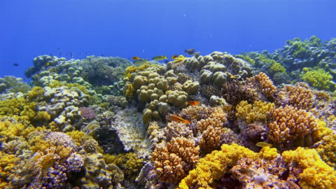 sea life on beautiful coral reef with lot of tropical fish on red sea nearby marsa alam - reef stock videos & royalty-free footage
