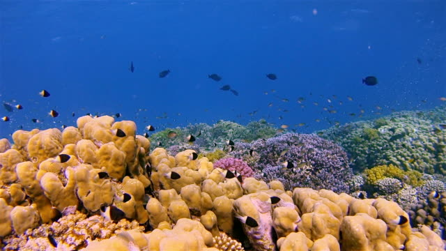 Sea life on beautiful coral reef with lot of tropical Fish ( Chromis dimidata ) on Red Sea nearby Marsa Alam