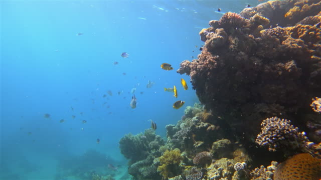 sea life on beautiful coral reef with yellow butterflyfish on red sea - marsa alam - egypt - butterflyfish stock videos & royalty-free footage