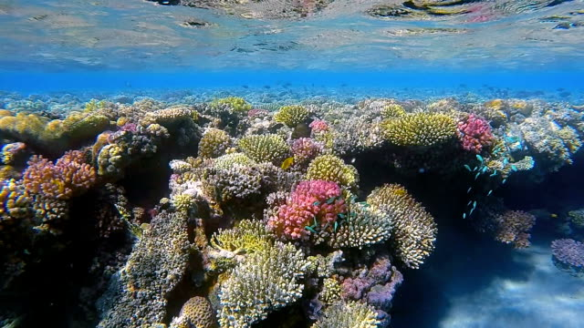 Sea Life on Coral reef / Red Sea