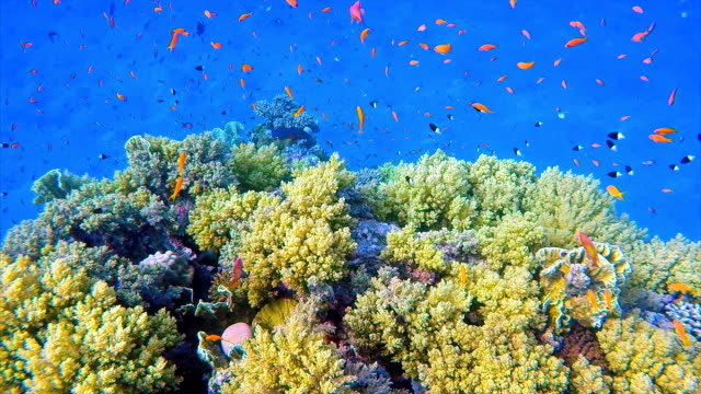 Sea life on Coral reef with Jewel Fairy Basslet / Red Sea