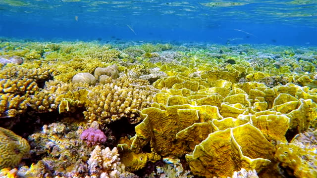 Sea life on coral reef with lot of fire coral in Red Sea nearby Marsa Alam